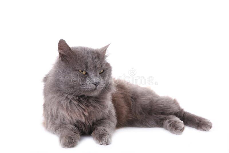 Gato gris hermoso aislado en un fondo blanco imágenes de archivo libres de regalías