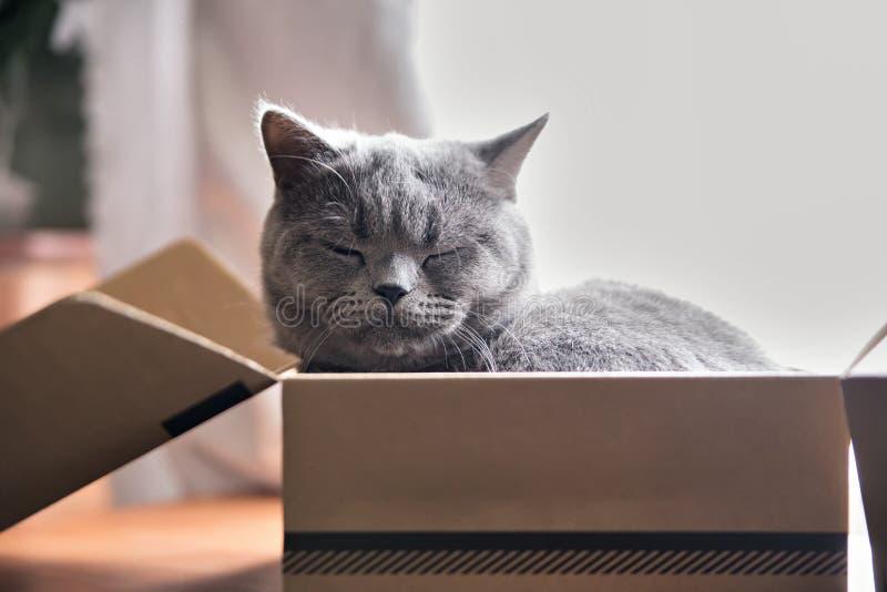 Gato gris hermoso que duerme en una caja Gatito británico de Shorthair fotos de archivo