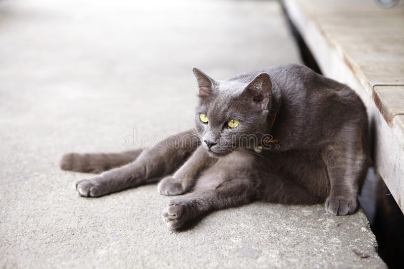 Gato gris joven foto de archivo