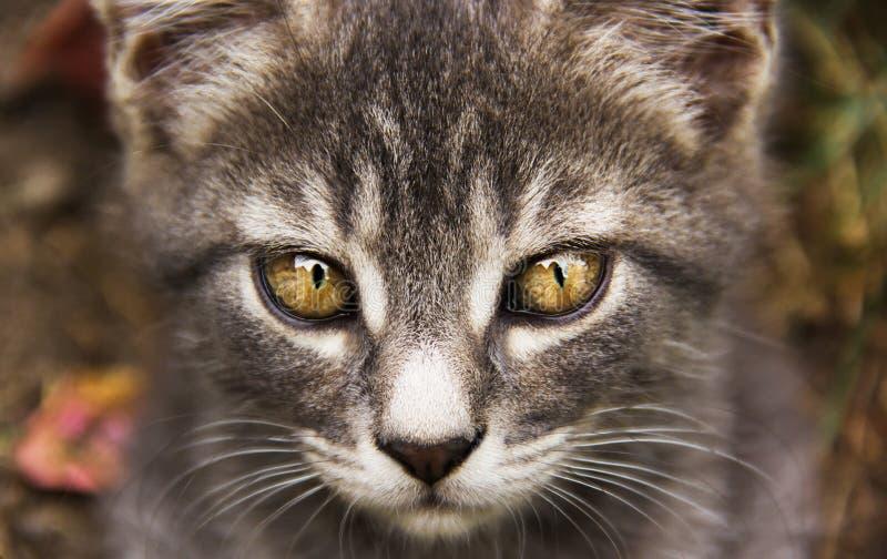 Gato gris joven con los ojos hermosos Gato gris con los ojos amarillos Ojos del ` s del gato foto de archivo libre de regalías