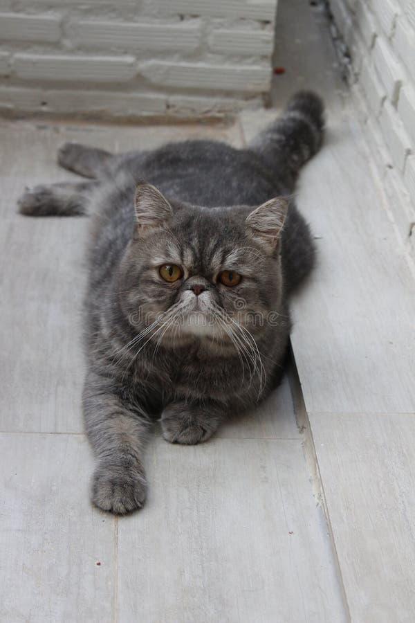 Gato gris lindo que miente en el suelo. imagenes de archivo