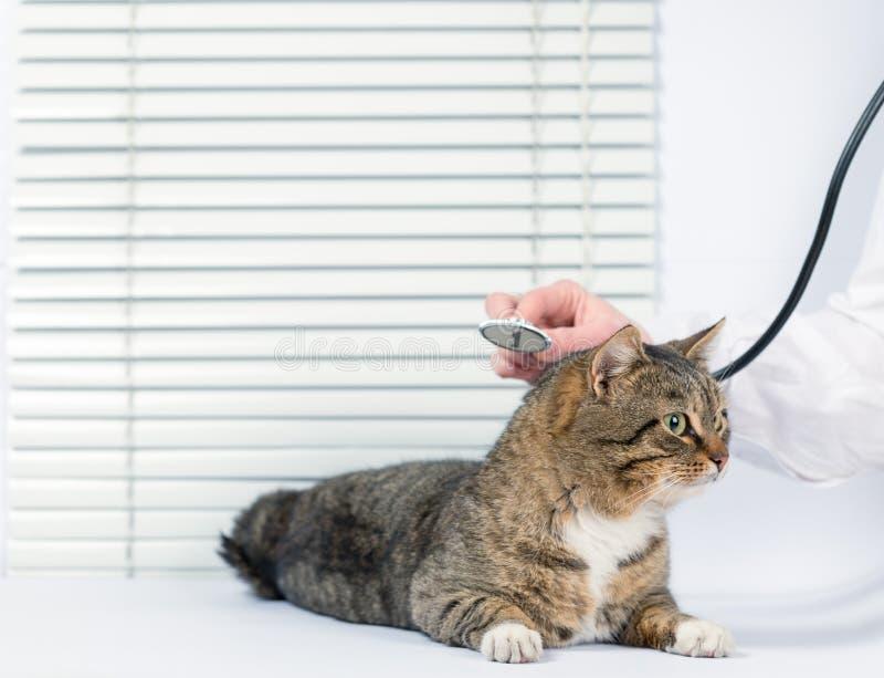 Gato gris muy lindo en una clínica veterinaria foto de archivo