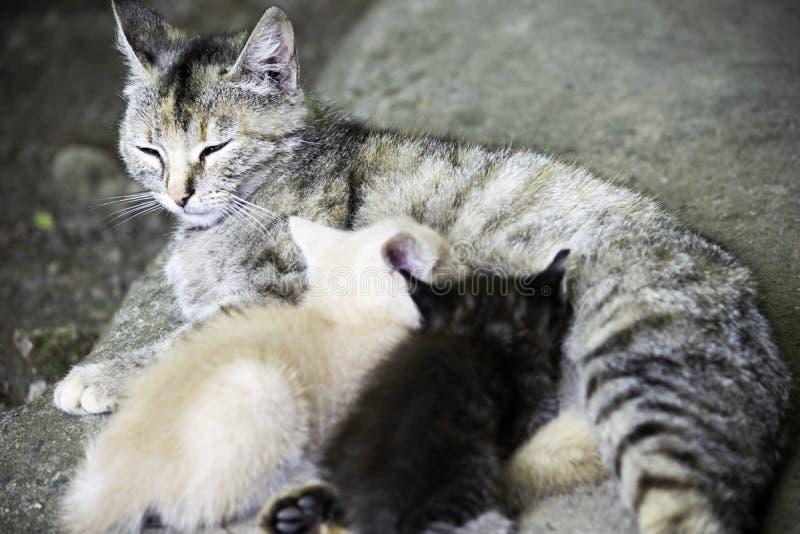 Gato gris que cuida sus pequeños gatitos hambrientos imagen de archivo