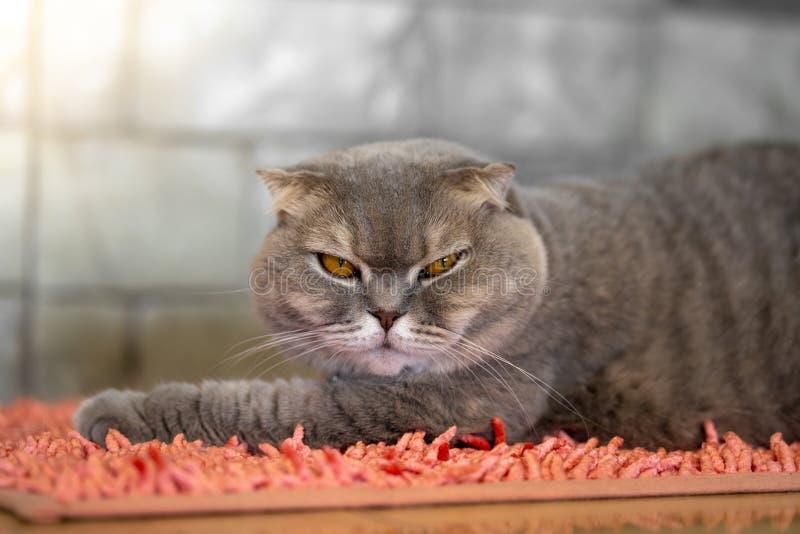 Gato gris que miente en la alfombra rosada en el cuarto foto de archivo