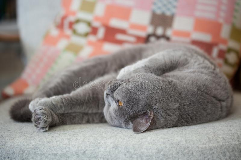 Gato gris que miente en una silla fotografía de archivo