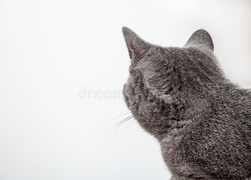Gato gris que mira detrás imágenes de archivo libres de regalías