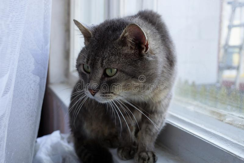 Gato gris que se sienta en el travesaño de la ventana detrás de una cortina blanca fotografía de archivo