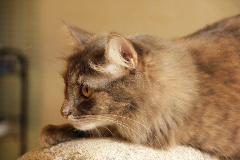 Gato gris siberiano imágenes de archivo libres de regalías