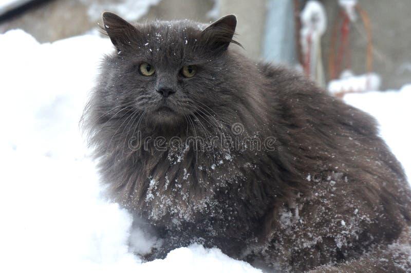 Gato gris siberiano peludo en la nieve, gato severo fotografía de archivo libre de regalías