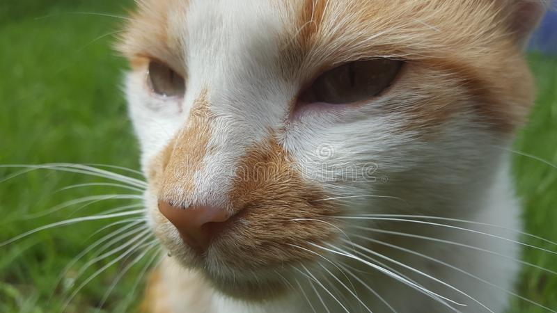 Gato gris y blanco hermoso fotografía de archivo