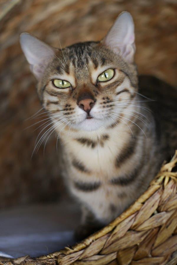 Gato gruñón foto de archivo libre de regalías