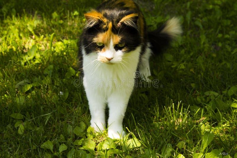 Gato gruñón fotos de archivo libres de regalías