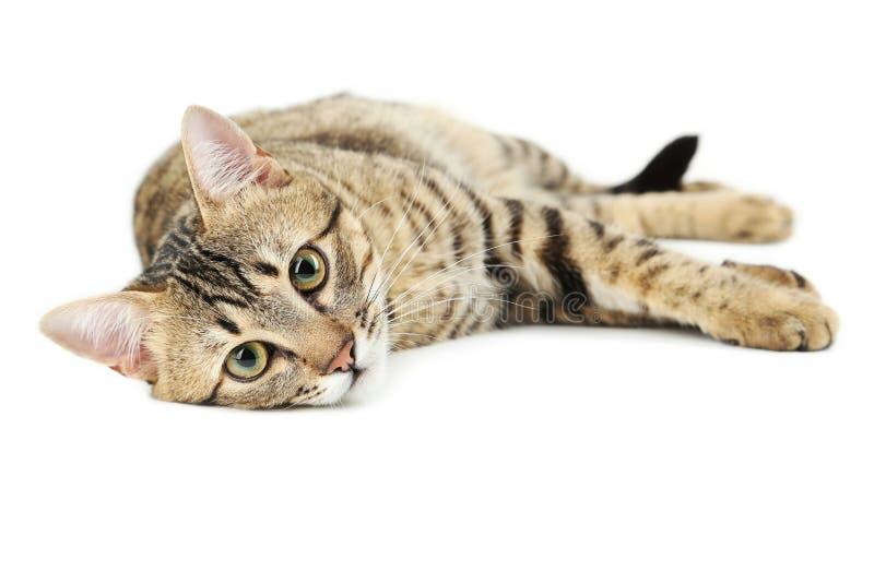 Gato hermoso aislado en blanco foto de archivo