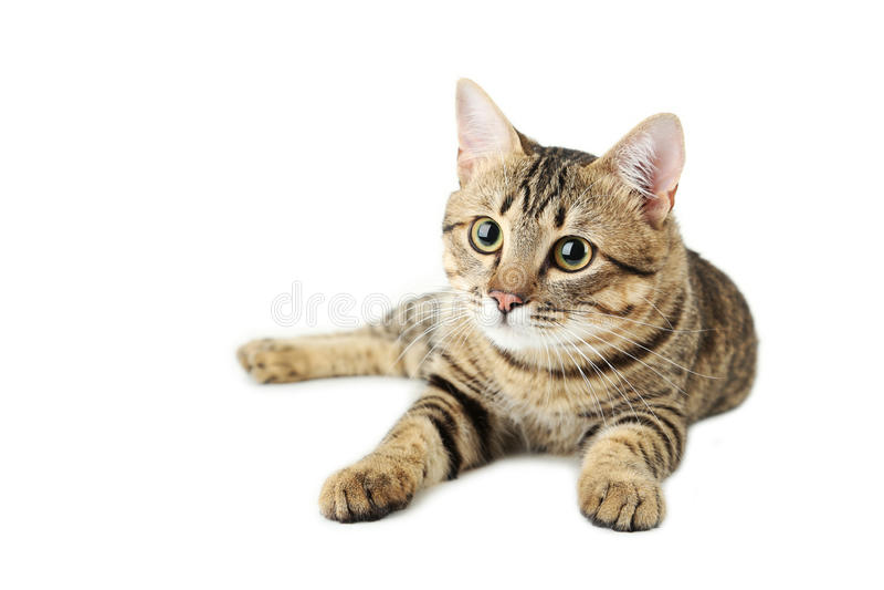 Gato hermoso aislado en blanco imagen de archivo libre de regalías