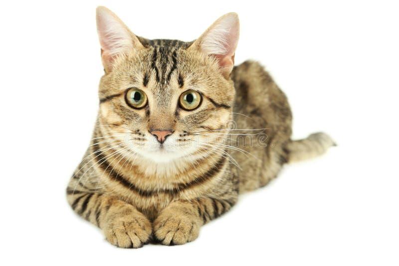 Gato hermoso aislado en blanco imágenes de archivo libres de regalías