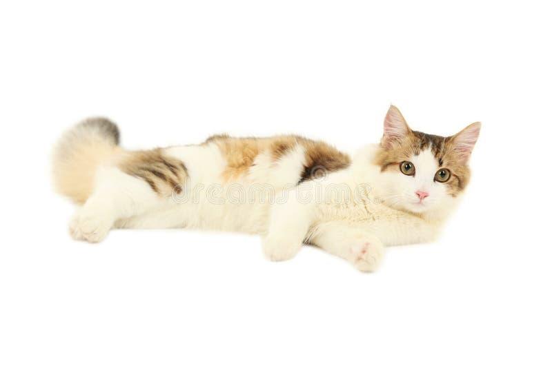 Gato hermoso aislado en el fondo blanco imagenes de archivo