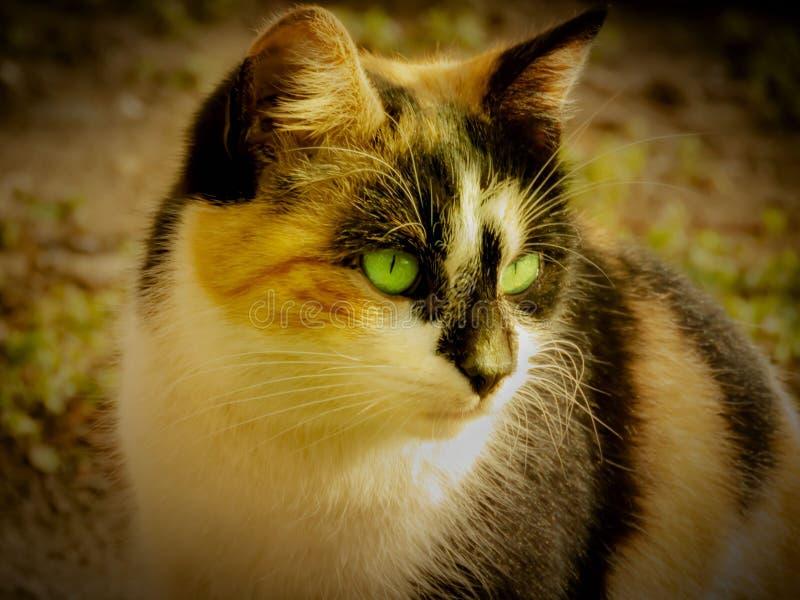 Gato hermoso con los ojos verdes foto de archivo libre de regalías
