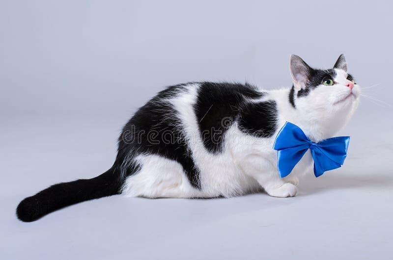 Gato hermoso con una corbata de lazo azul, foto aislada fotos de archivo