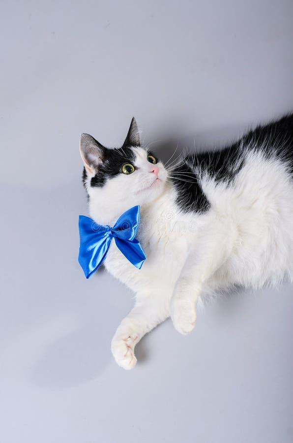 Gato hermoso con una corbata de lazo azul, foto aislada imágenes de archivo libres de regalías
