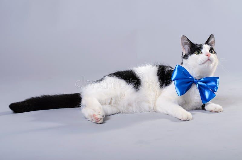 Gato hermoso con una corbata de lazo azul, foto aislada fotografía de archivo libre de regalías