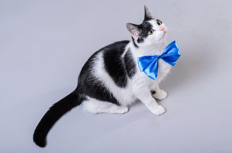 Gato hermoso con una corbata de lazo azul, foto aislada foto de archivo