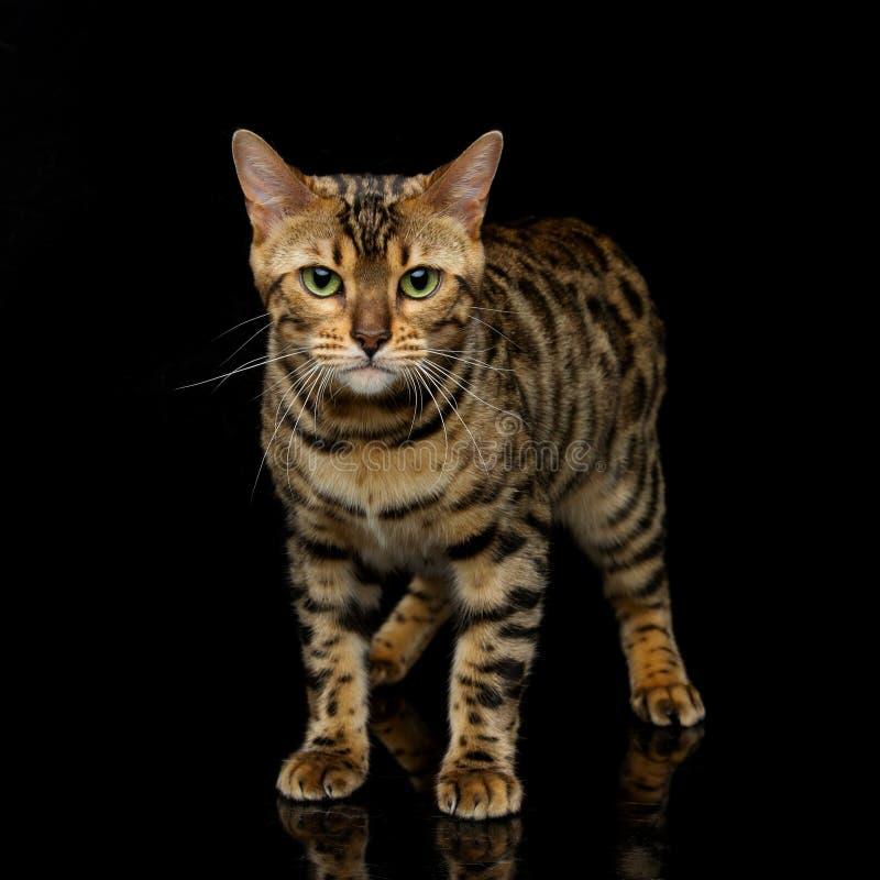 Gato hermoso de Bengala foto de archivo libre de regalías