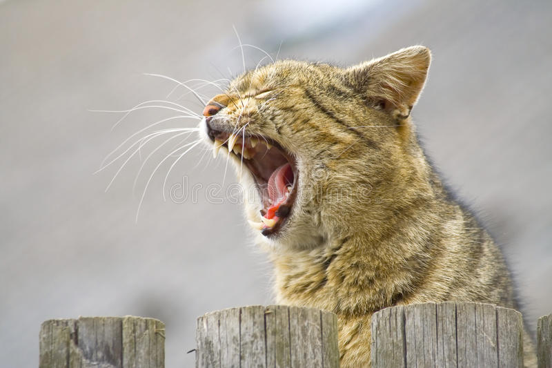 Gato hermoso del rugido foto de archivo libre de regalías