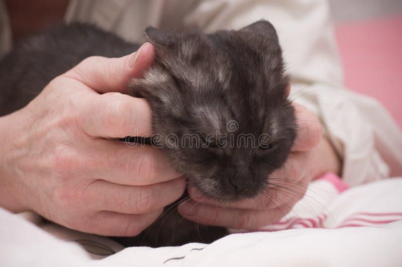 gato hermoso gris Escocés-recto fotografía de archivo
