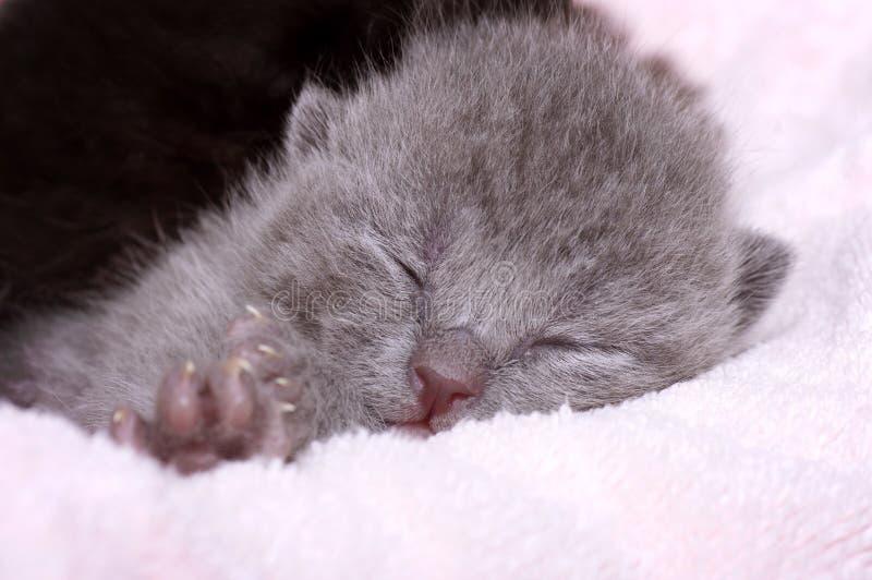 gato hermoso gris Escocés-recto imágenes de archivo libres de regalías