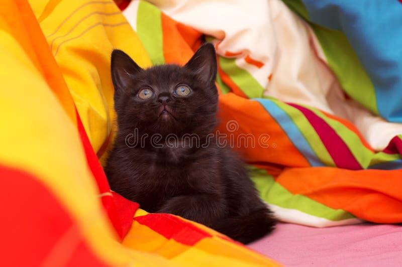 gato hermoso gris Escocés-recto fotos de archivo