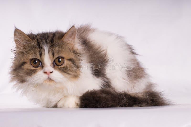 Gato hermoso persa que mira con miedo la cámara aislada en el fondo blanco imagen de archivo