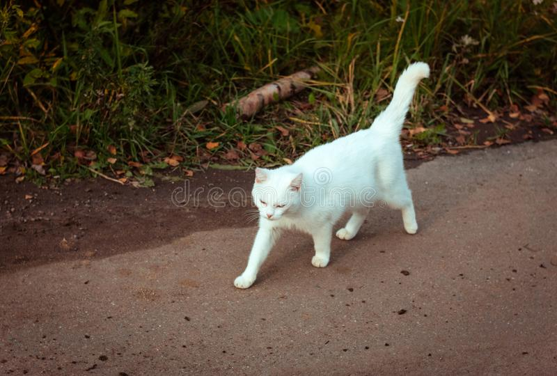 Gato hermoso sin hogar blanco que camina abajo del camino, mirando fijamente y bizqueando, primer Un gato perdido solo está busca imagen de archivo