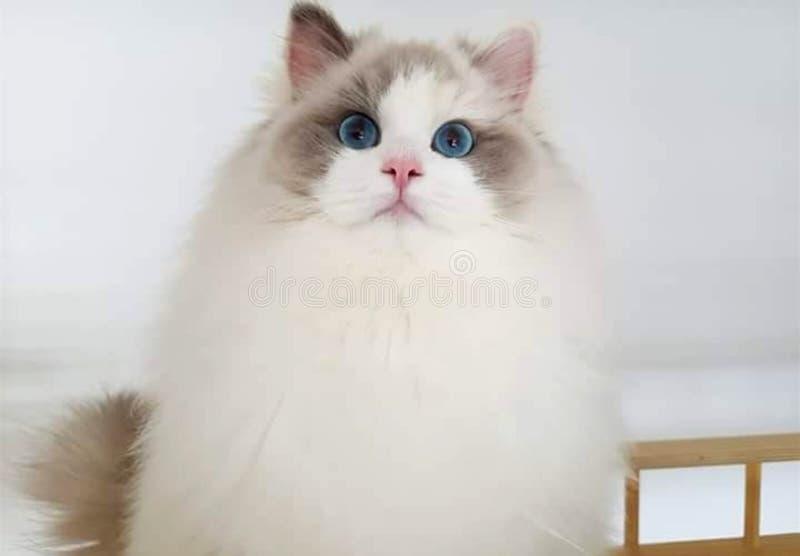 Gato Himalayan observado azul blanco imágenes de archivo libres de regalías