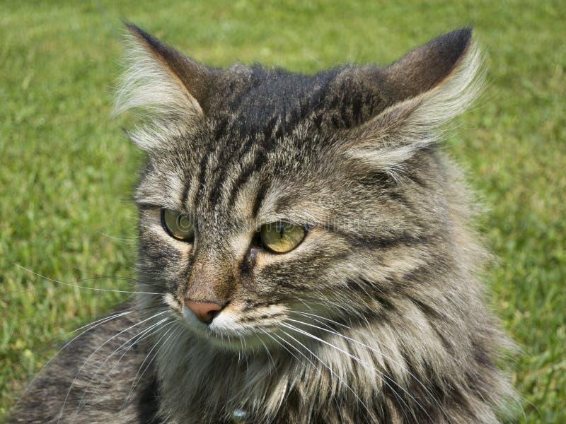 Gato home na grama com um olhar especial fotografia de stock
