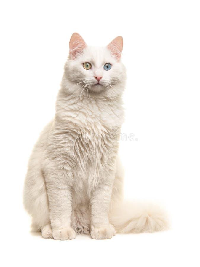 Gato impar do olho do angora turco branco que senta-se não olhando a câmera imagem de stock