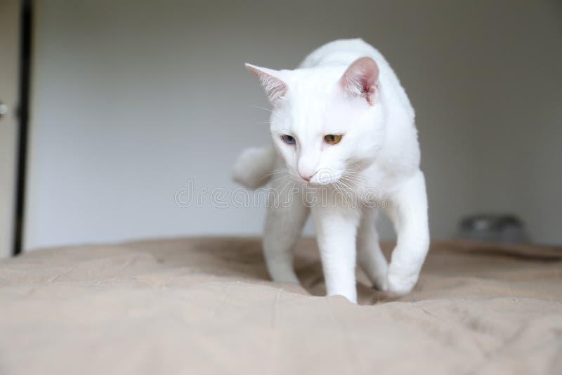 gato impar-eyed imagen de archivo
