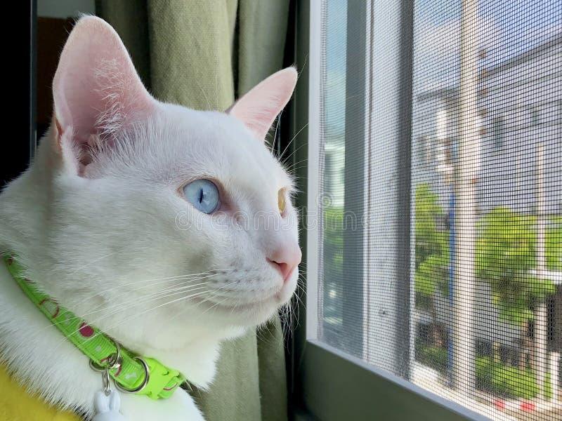 gato impar-eyed foto de archivo libre de regalías