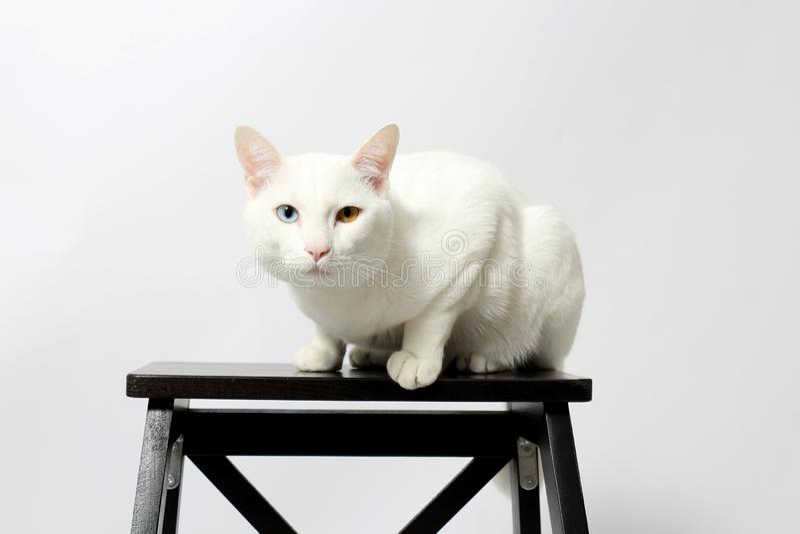 gato impar-eyed imagenes de archivo