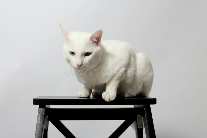 gato impar-eyed fotos de archivo