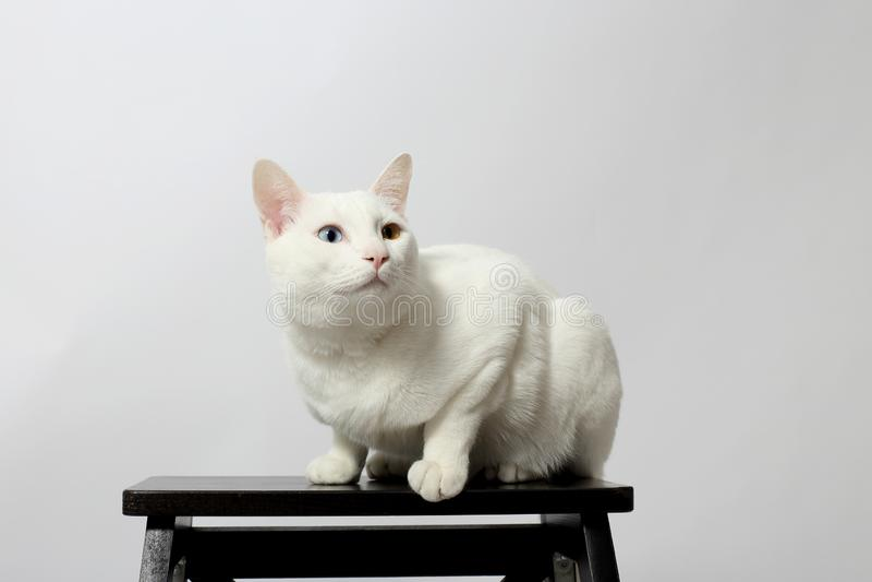 gato impar-eyed fotografía de archivo