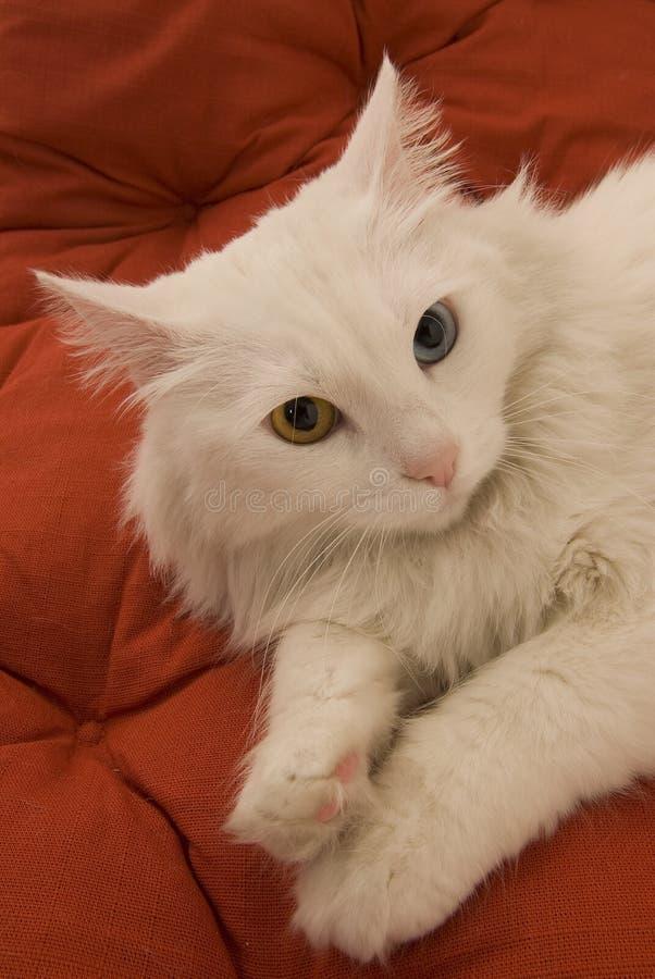 Gato impar-eyed blanco imagenes de archivo