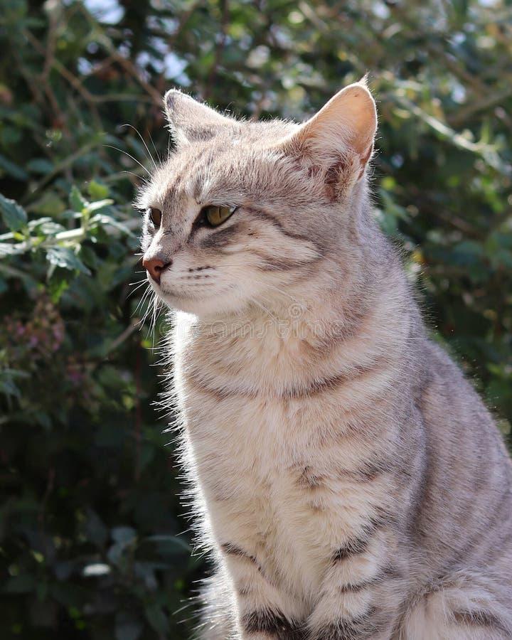 Gato inocente Himalayan asentado en área soleada exterior imagen de archivo