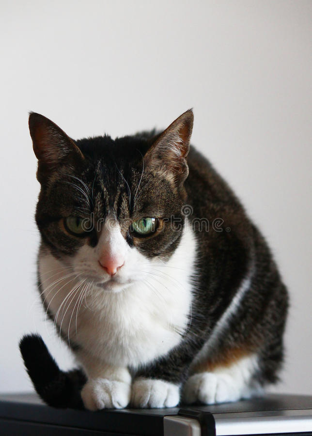 Gato interior gruñón que se coloca en caja del ordenador foto de archivo