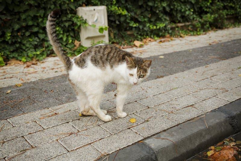 Gato inválido com pata amputada imagens de stock
