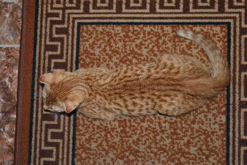 Gato invisible El gato escocés del doblez del tabi del jengibre miente en una alfombra de colores similares Disfraz magnífico, co fotos de archivo
