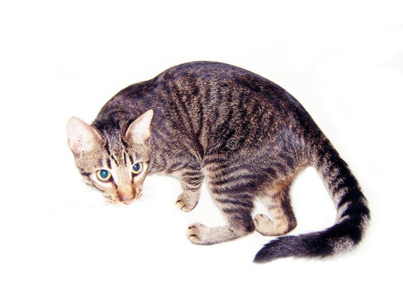 Gato Isolado Fotografia de Stock Royalty Free