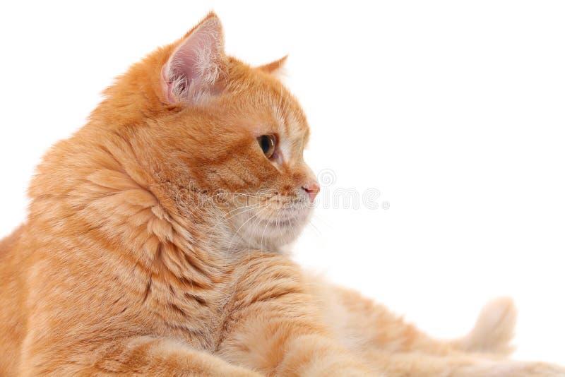 Gato isolado no branco imagem de stock royalty free