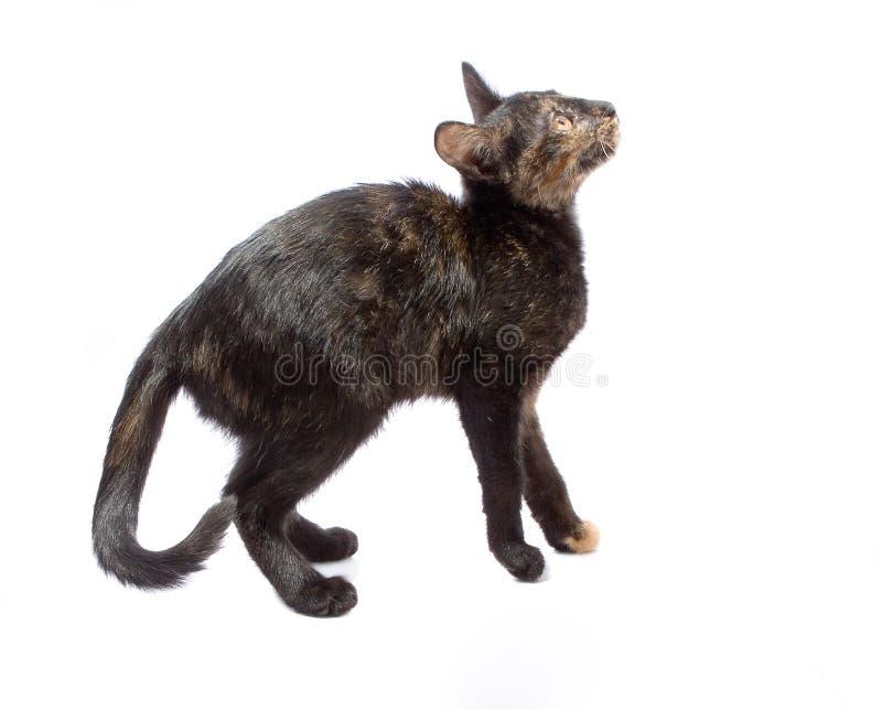 Gato isolado no branco fotos de stock