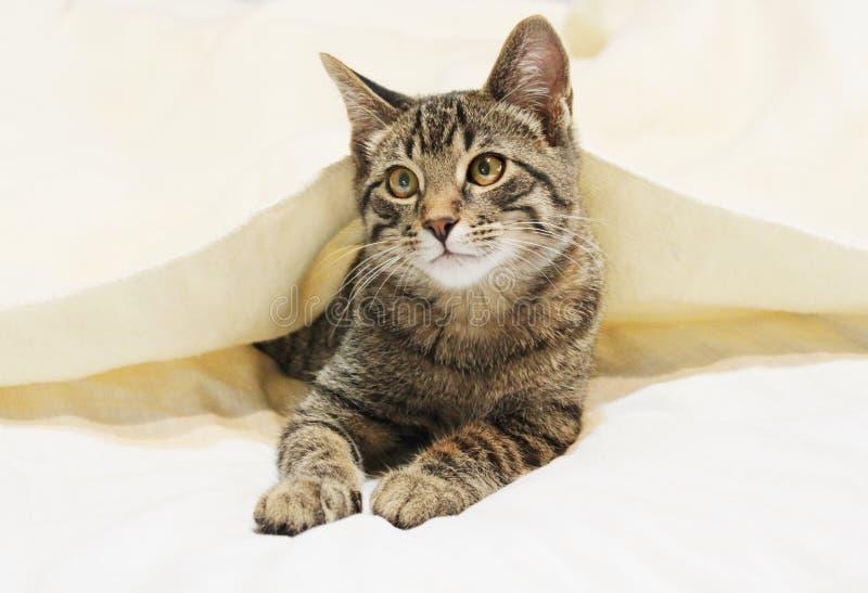 Gato joven bajo la manta fotos de archivo