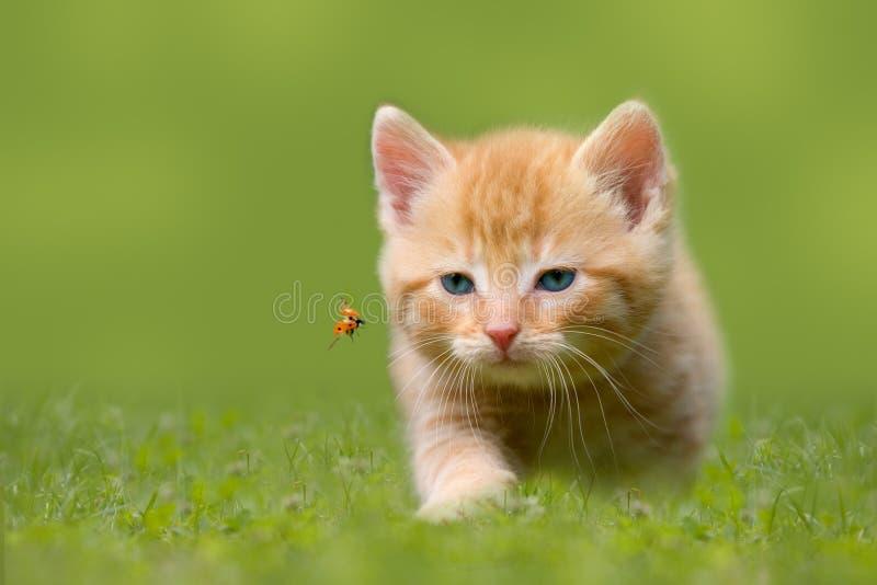 Gato joven con la mariquita en un campo verde fotografía de archivo